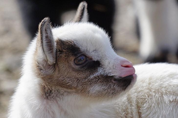 white and brown lamb macro shot