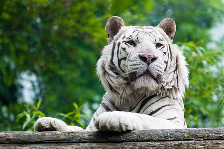 close-up photography of white tiger