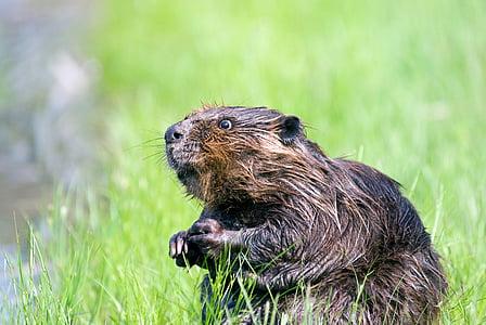 shallow focus photo of beaver