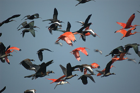 flock of red and black birds flying