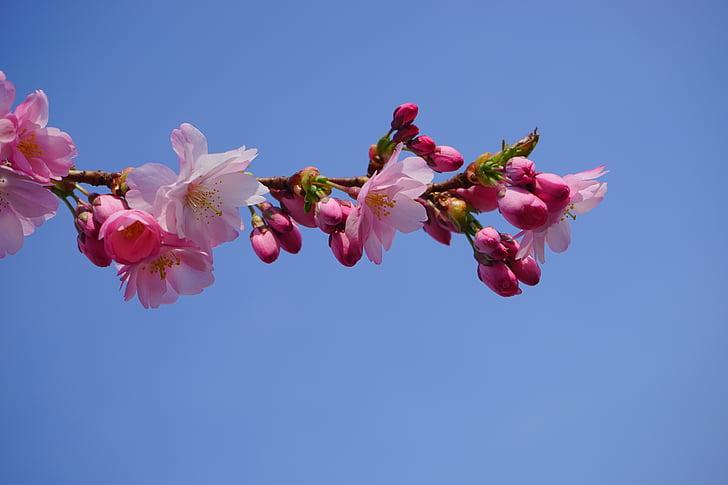 pink Sakura blossoms under blue clear sky