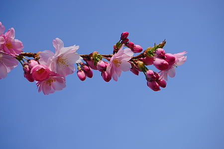 pink Sakura blossoms under blue clear sky