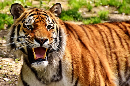 selective focus photography of adult tiger