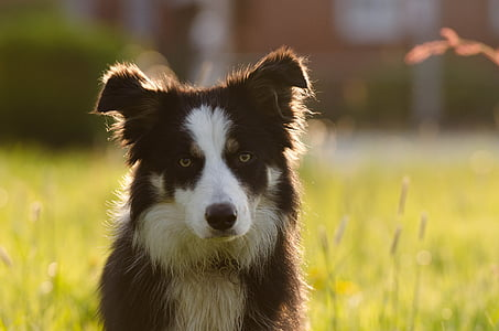 adult black and white border collie on grass field during day