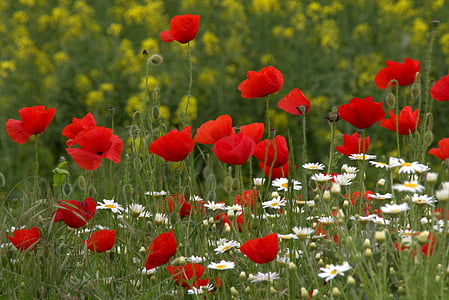 bed of poppy and daisy flowers