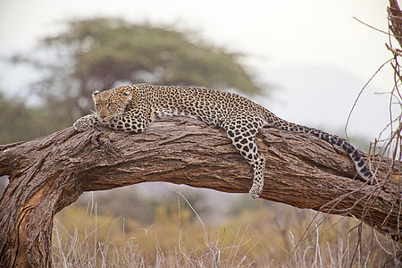 black and brown leopard on brown branch