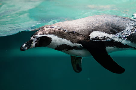 white and black penguin under water