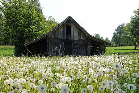 black and gray wooden house surrounded by white petaled flower s