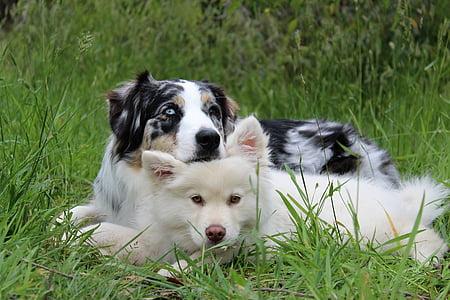 white American eskimo puppy and tricolor merle Australian shepherd dog