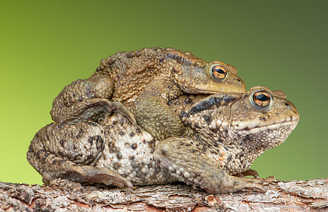 photo of two brown frogs