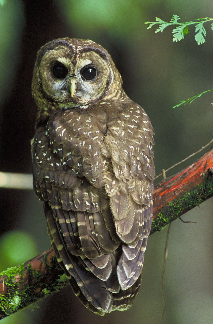 brown owl on red branch