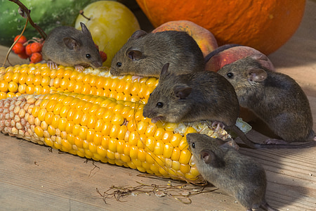 mice eating yellow corn