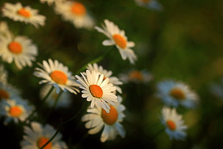 selective focus photo of white-and-orange daisy flower