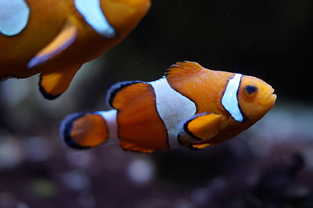 shallow focus photography of two orange clownfishes