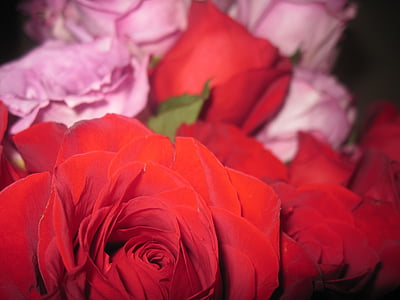 two pink and red roses close up photography