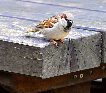 brown and white sparrow bird perching on brown wooden board