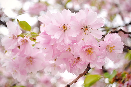 close up photography of pink Sakura blossoms