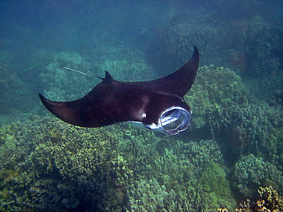 swimming stingray