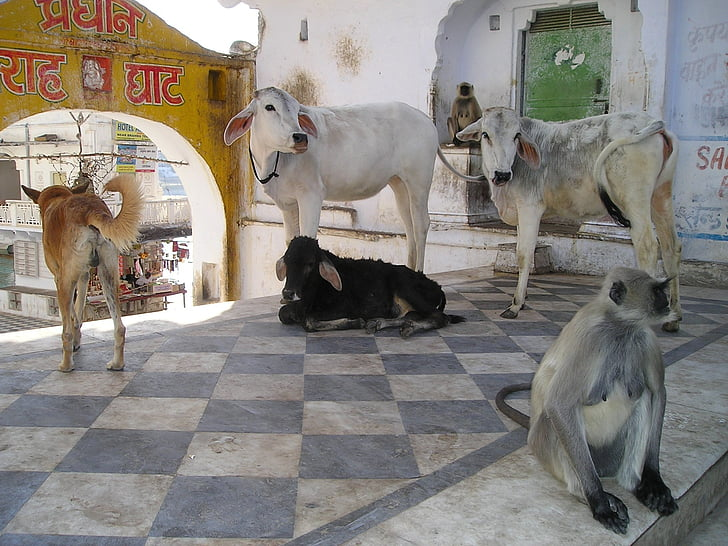 three cattle, with two monkey and one dog