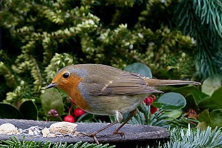 European robin on black metal birdbath