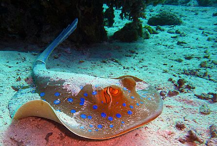 photo of gray and blue spotted manta ray