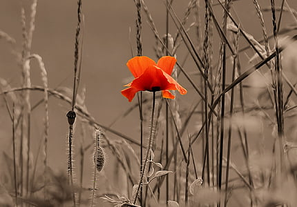 close up photography of red poppy beside grass