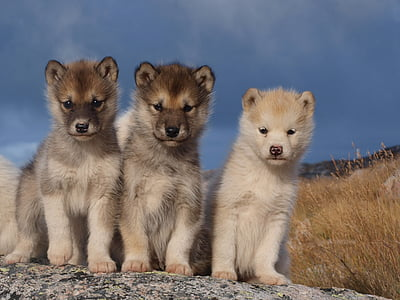 three long-coated brown puppies on gray surface during daytime