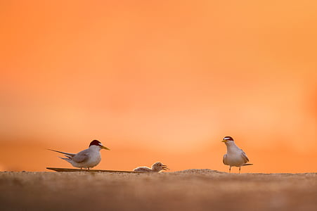 selective focus photography of two arctic terns on ground and chick