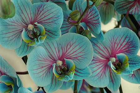 pink and blue orchids