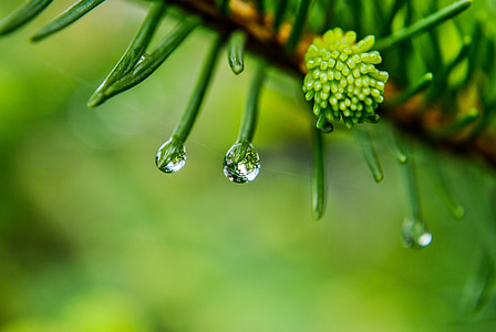 green pinecone with dew drops