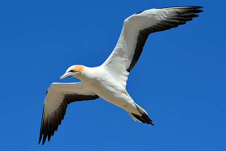 white and brown booby bird flying under blue sky