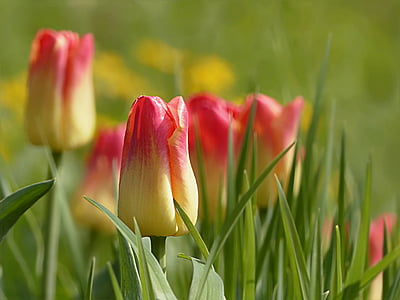selective focus photography of yellow-and-red tulip flowers