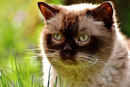 selective focus photography of white and brown himalayan cat