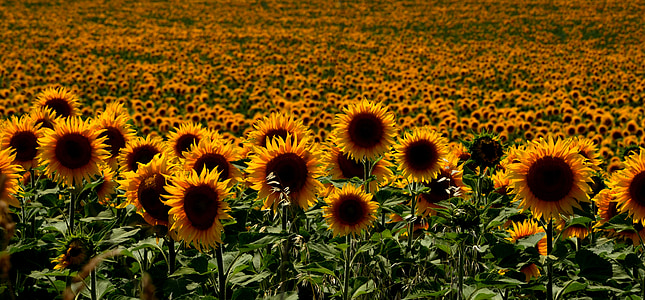 garden of sunflower
