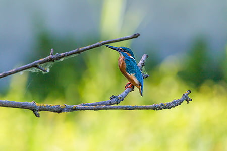 blue kingfisher bird on brown twig
