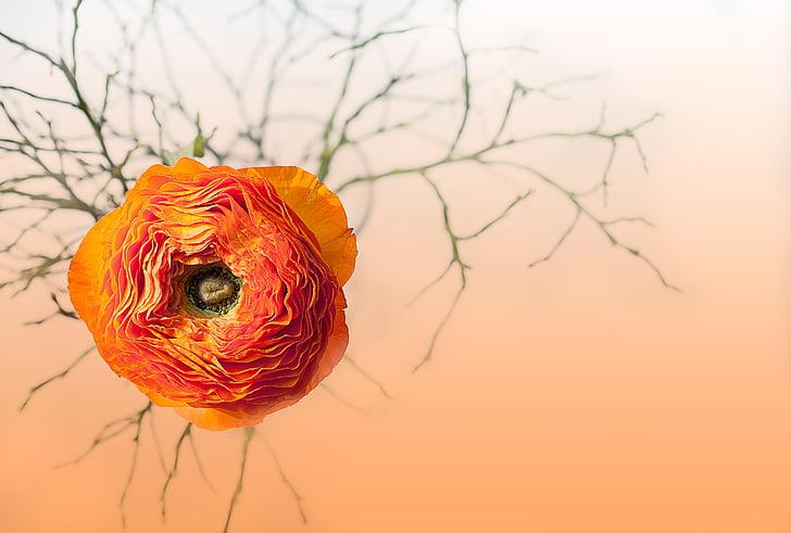 ranunculus, flower, blossom, bloom, petals, orange