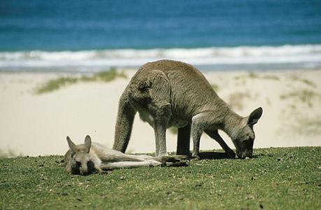 two gray kangaroos