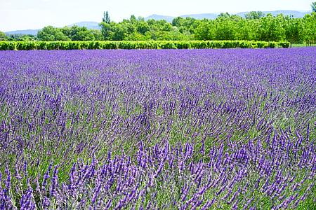 purple lavender flower field photo taken during daytime