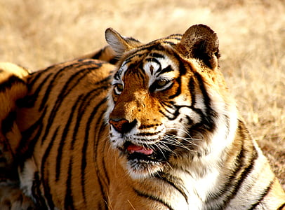 selective focus photography of tiger