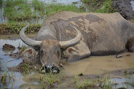 black water buffalo lying on mud at daytime
