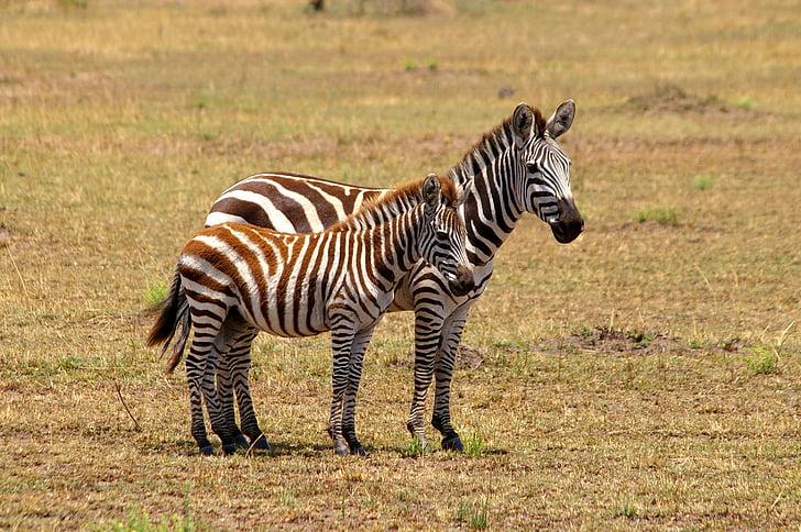 two zebras on field