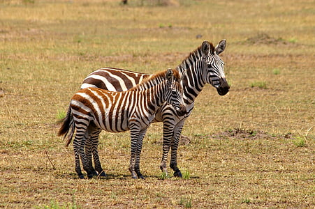 two zebras on field