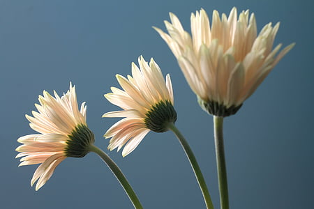 closeup photography of white daisy flowers