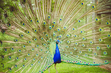 blue and green peacock with opened tail