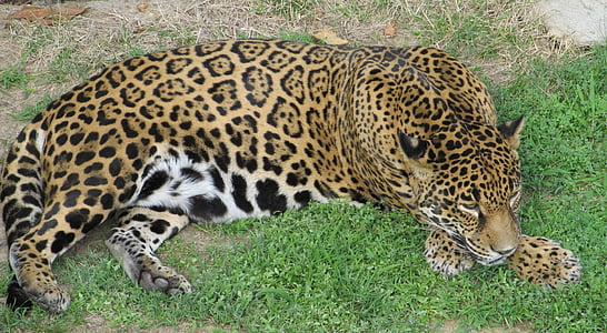 jaguar laying on the grass