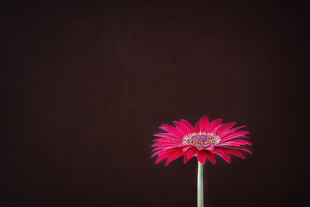 red daisy flower in close-up photography