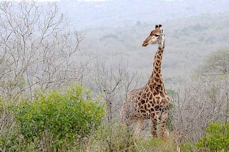 giraffe standing on bushes