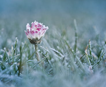 shallow focus photography of pink and white daisy flower