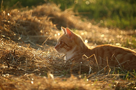 orange Tabby cat on brown grass