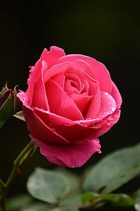 closeup photo of red rose